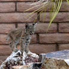 Baby bobcat on rocks