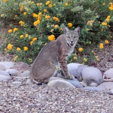 Bobcat in our front yard 2