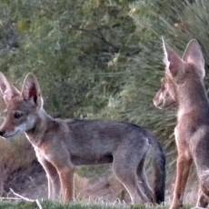 Coyote.Pups