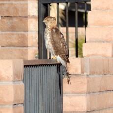 Harrier.Hawk