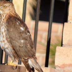 Hawk Cropped Long