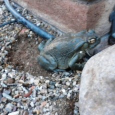 Sonoran Toad..3.pg