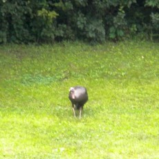 Wild Turkey on Golf Course