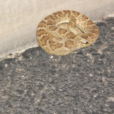 rattler coiled