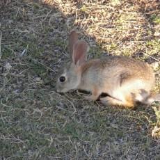 regular old bunny rabbit
